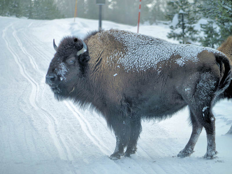 Yellowstone National Park Winter Bison