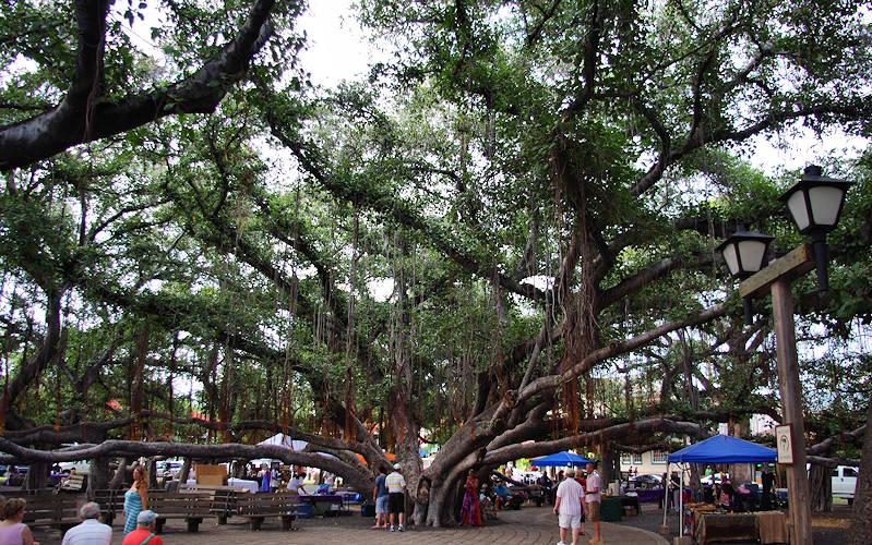 Lahaina Banyan Tree, Maui